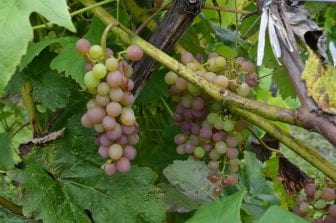 Grapes at a Finger Lakes vineyard