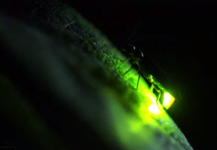 Science Friday Fireflies
