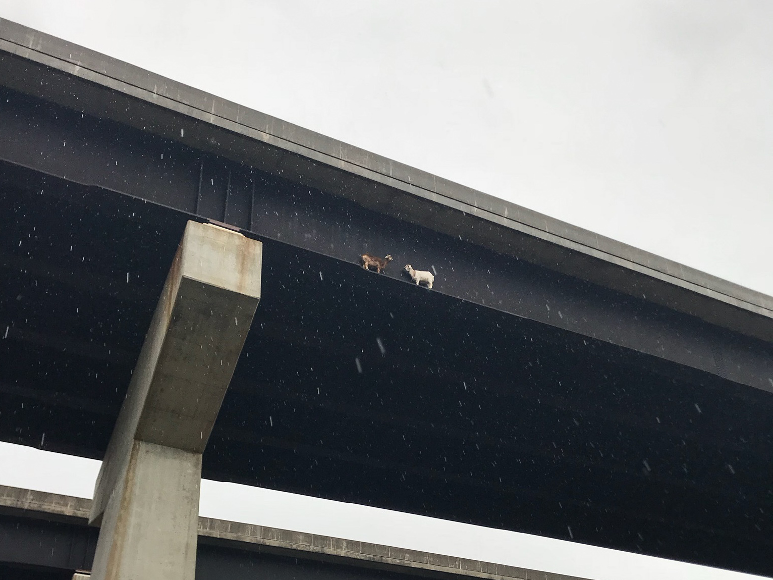 See that little brown critter and that little white critter? They're goats stuck on a bridge in western Pennsylvania. The white goat is facing in the wrong direction to walk off the beam, about 100 feet high, and return to solid ground.