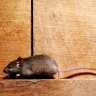 Mice may be adorable, but the droppings and the bacteria they contain, not so much.