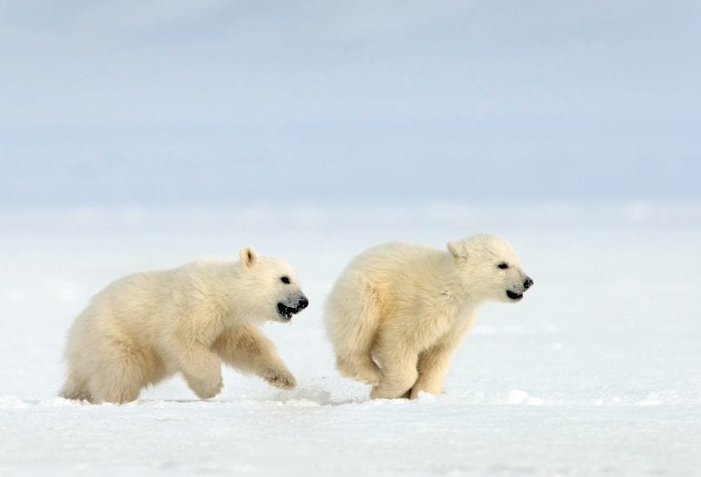 Nature Snow Bears