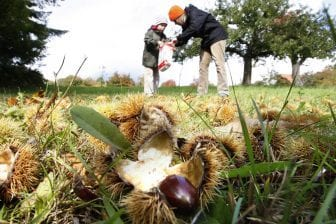 How GMOs Might Save The American Chestnut Tree