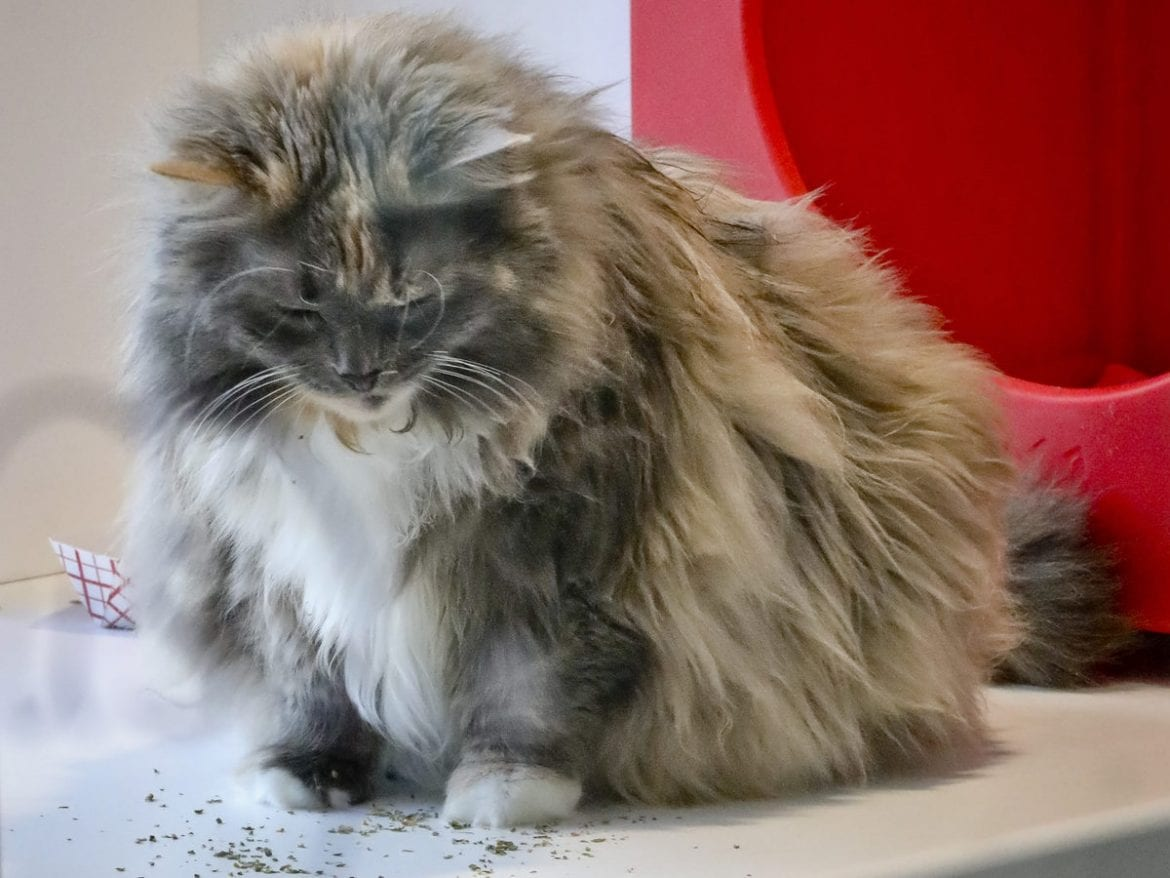 Griselda, a domestic longhair already declawed when she was surrendered by her owner for adoption, plays inside her enclosure at the Animal Haven pet shelter in New York on Tuesday. The New York Legislature has passed a bill that would make the state the first in the country to outlaw declawing a cat.