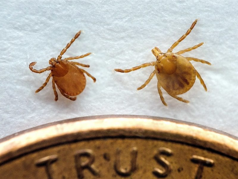 Two ticks in their nymphal stage: At left, the longhorned tick, native to Asia and a recent arrival in the U.S. At right, the lone star tick, found in the eastern United States and in Mexico.