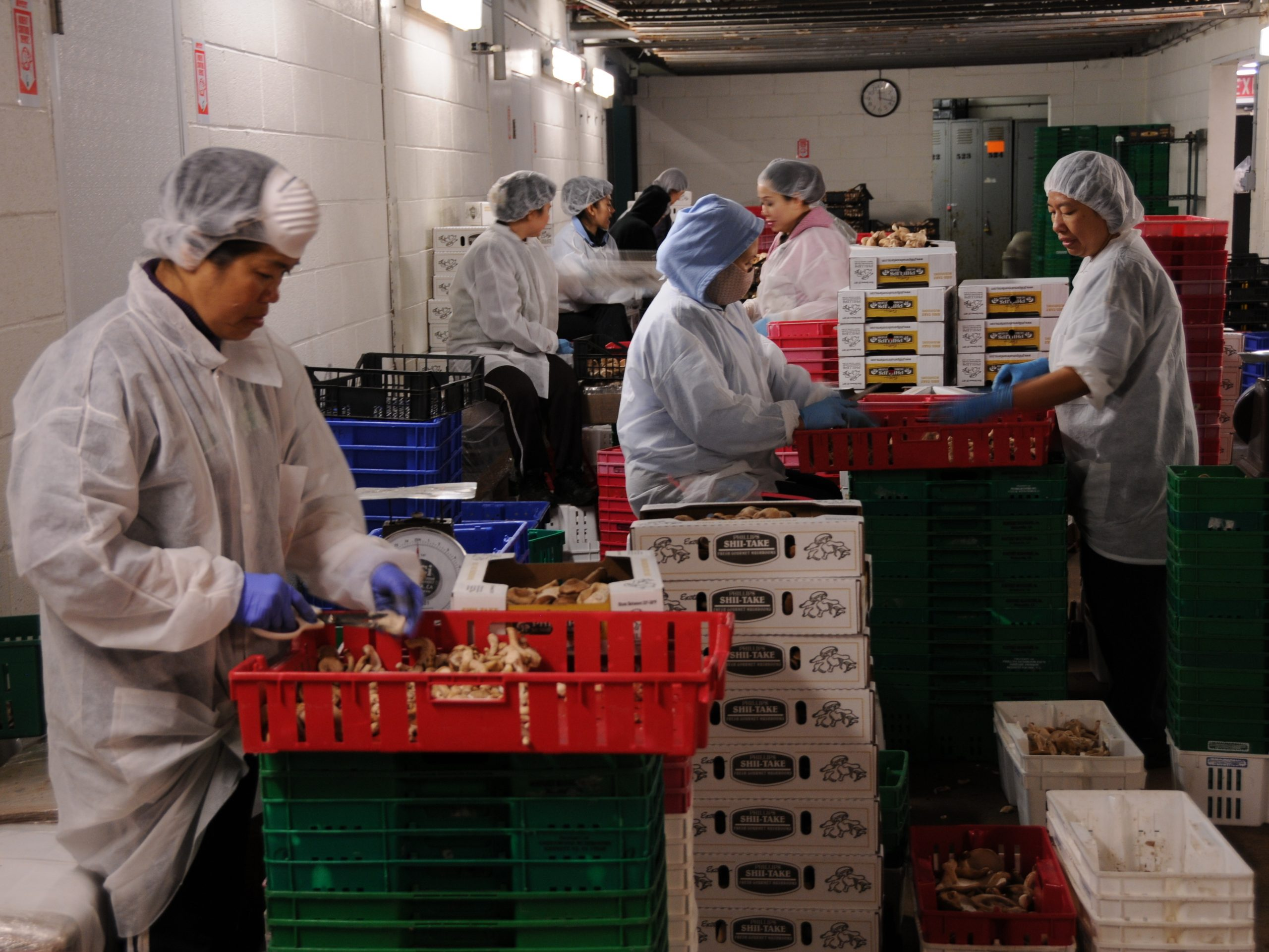 Southeast Asian workers cut shiitake mushrooms at Phillips Mushroom Farms. The mushroom industry in Chester County, Pa., has relied on several waves of immigrant workers, beginning with Italians in the late 1800s.